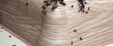 Ameisen im Haus bzw. in der Wohnung - was hilft?