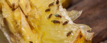 Fruchtfliegen bekämpfen