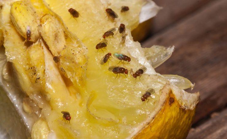 fruchtfliegen bek mpfen wie womit vorbeugung hausmittel